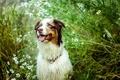 Picture look, chamomile, Dog, nature, Australian shepherd, the bushes, language