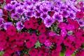Picture Petunia, petals, meadow, garden, nature, flowerbed