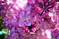 Picture April, Lilac, flowering