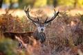 Picture nature, autumn, deer