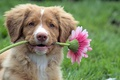 Picture Retriever, puppy, flower, dog