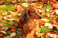 Picture dog, walk, autumn, leaves