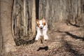 Picture dog, running, nature