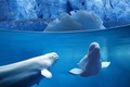 Picture Dolphin, ice, Belukha