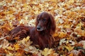 Picture dog, setter, autumn, leaves