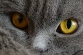 Picture Cat, Pets, Eyes, Grey